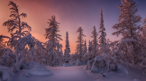 Forest Sky Snow Spruce Sunset Winter 2000x1333 wallpaper
