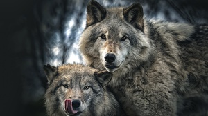 Wildlife Wolf Predator Animal 2048x1391 Wallpaper