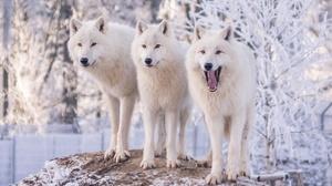 White Wolf Wildlife Winter Wolf Predator Animal 1920x1200 Wallpaper