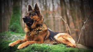 Depth Of Field Dog German Shepherd Pet 2560x1527 wallpaper