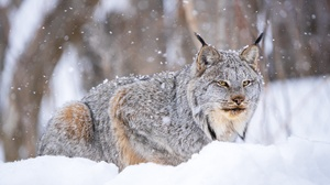 Lynx Snow Wildlife Winter Predator Animal 2048x1280 Wallpaper