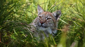 Big Cat Lynx Wildlife Predator Animal 5760x3240 Wallpaper