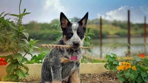 Dog Cute Puppy Pet 1920x1200 Wallpaper