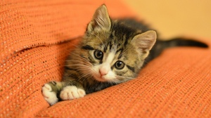 Kitten Cute 1920x1200 Wallpaper