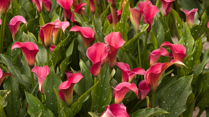 Calla Lily Green Leaf Nature Pink Flower 2600x1730 Wallpaper