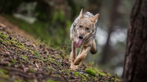 Depth Of Field Wildlife Wolf Predator Animal 2220x1194 wallpaper