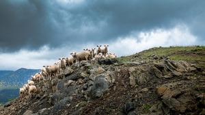 Hill Livestock Rock Sheep 1920x1218 Wallpaper