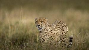 Wildlife Cheetah Nature Feline Big Cats Mammals 4096x2731 Wallpaper