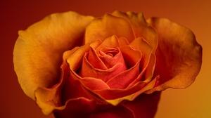 Flower Macro Orange Rose Petal Rose 2048x1247 Wallpaper