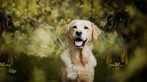 Dog Labrador Retriever Pet 1920x1280 Wallpaper