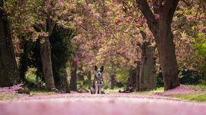 Australian Cattle Dog Dog Spring Blossom Depth Of Field 2048x1367 Wallpaper