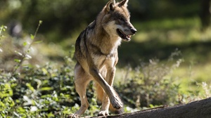 Wildlife Wolf Predator Animal 3000x1894 wallpaper