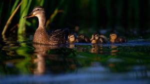 Baby Animal Bird Duck Duckling Wildlife 2048x1365 wallpaper