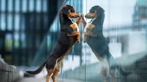 Dachshund Dog Pet Reflection 2048x1280 Wallpaper