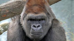 Animal Gorilla 2600x1819 Wallpaper