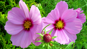 Close Up Cosmos Earth Flower Pink Flower 2048x1365 Wallpaper