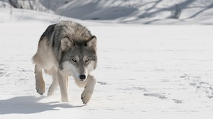 Snow Wildlife Wolf Predator Animal 1920x1080 Wallpaper