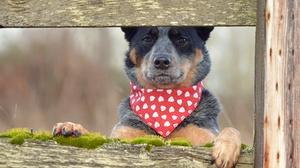 Australian Cattle Dog Dog Pet 2048x1365 wallpaper