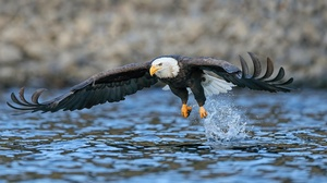 Animal Bald Eagle 3840x2160 Wallpaper