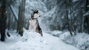 Depth Of Field Dog Husky Pet Snow Winter 1920x1280 Wallpaper