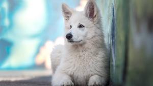 Depth Of Field Dog Pet White Shepherd 2048x1365 wallpaper