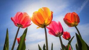 Colorful Colors Flower Sun Sunshine Tulip 3840x2400 Wallpaper