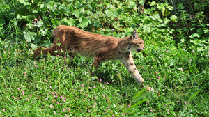 Animal Lynx 4288x2848 Wallpaper