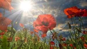 Flower Poppy Sunbeam 6000x4000 Wallpaper