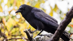 Bird Crow Depth Of Field Wildlife 2560x1554 Wallpaper