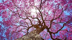 Earth Tree Sakura Blossom Pink Canopy 3554x1970 Wallpaper