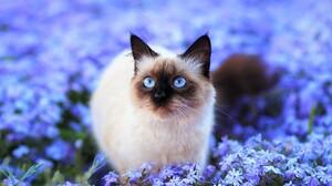 Animal Blue Eyes Blue Flower Blur Cat Cute Field Flower Himalayan Cat 1800x1215 Wallpaper
