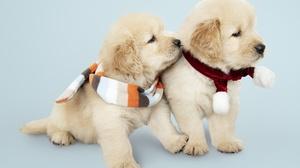 Baby Animal Dog Golden Retriever Pet Puppy 5000x3705 Wallpaper
