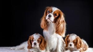 Animal Baby Animal Cavalier King Charles Spaniel Cute Dog Puppy 4000x2569 Wallpaper