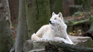 White Wolf Wildlife Wolf Predator Animal 2000x1333 wallpaper