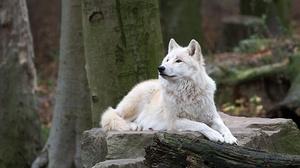 White Wolf Wildlife Wolf Predator Animal 2000x1333 Wallpaper