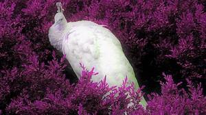 Albino Animal Bird Peacock Purple 1600x1200 wallpaper