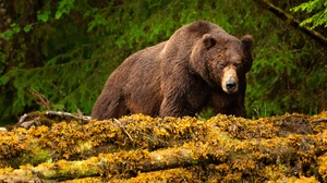 Bear Wildlife Predator Animal 3840x2560 Wallpaper