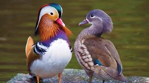 Bird Couple Duck Mandarin Duck 2207x1656 Wallpaper