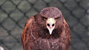 Animal Bird Eagle Golden Eagle 3000x1688 wallpaper