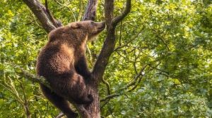 Bear Wildlife 2500x1667 Wallpaper