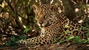 Big Cat Jaguar Wildlife Predator Animal 2000x1321 wallpaper