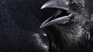 Crow Bird 1920x1280 Wallpaper