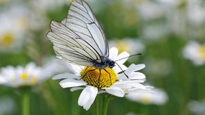Animal Black Veined White Butterfly Daisy Flower Oxeye Daisy 2000x1436 Wallpaper
