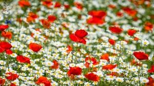 Flower Nature Poppy Red Flower 2684x1395 Wallpaper