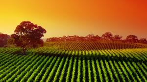 Australia Landscape Nature Sunny Tree Vineyard 4303x2200 Wallpaper