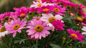Daisy Earth Flower Pink Flower 3840x2400 Wallpaper