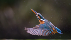 Kingfisher Macro Water Drop 2048x1366 Wallpaper