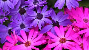 Daisy Pink Flower Purple Flower 1920x1408 Wallpaper
