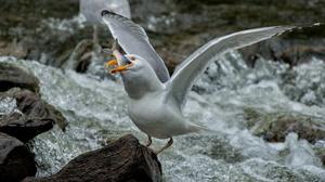 Animal Seagull 1920x1200 wallpaper