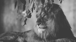 Big Cat Black Amp White Lion Wildlife Predator Animal 4534x3023 wallpaper